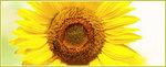 DAMSAL, gėlės apželdinimui, ŽŪB